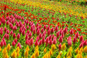 ケイトウの花